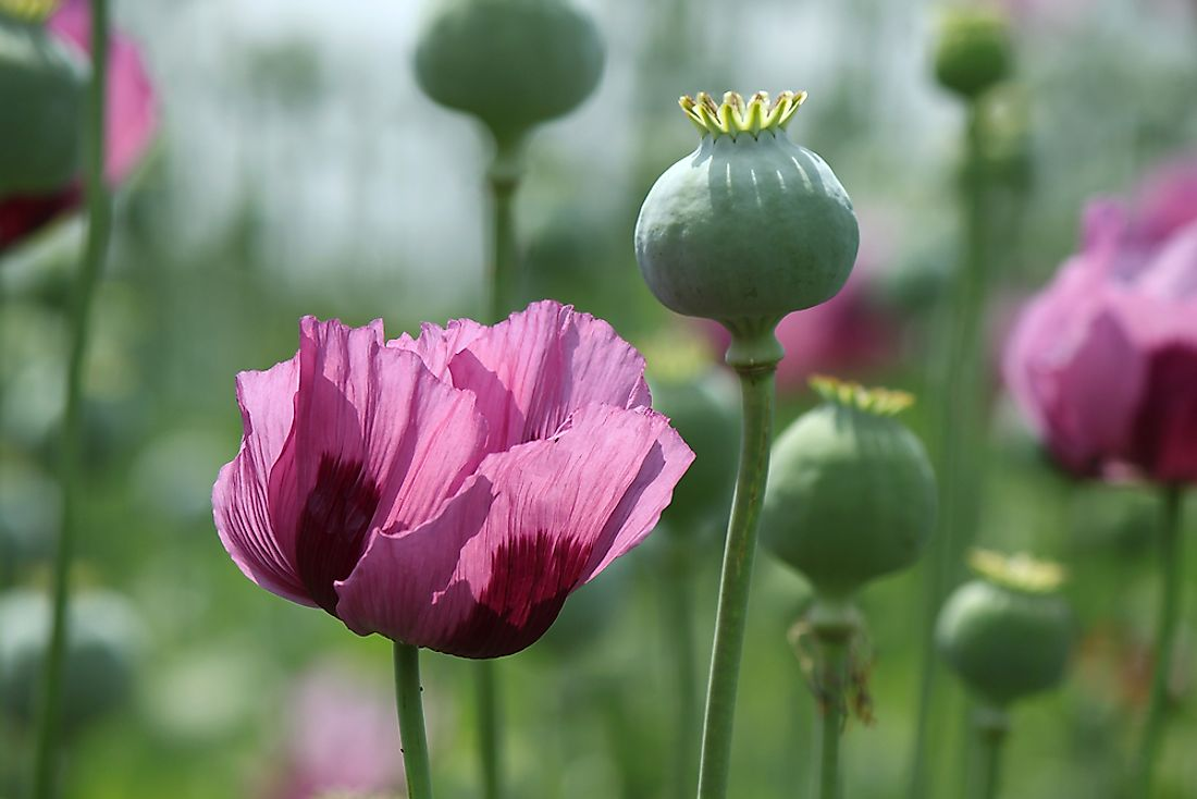 The materials for the manufacture of opiates are sourced from opium poppy.