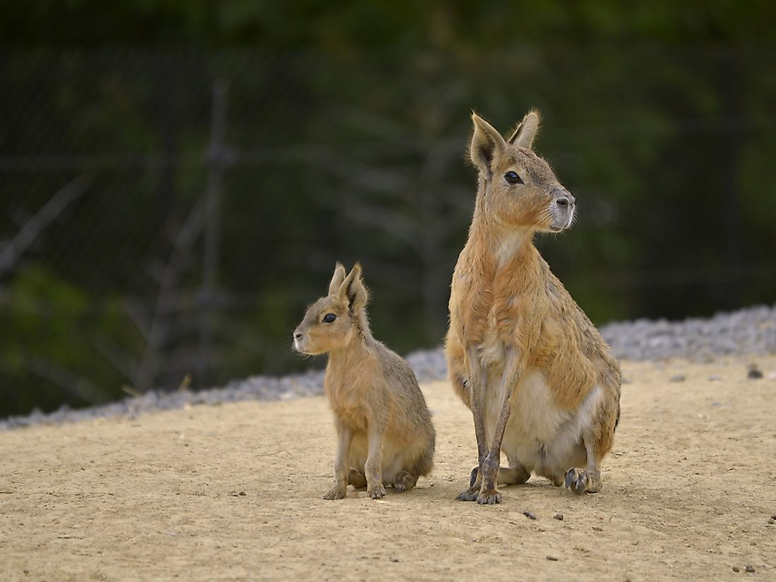 The Patagonian mara is a large rodent species that is often said to look like a cross between a rabbit and a deer.