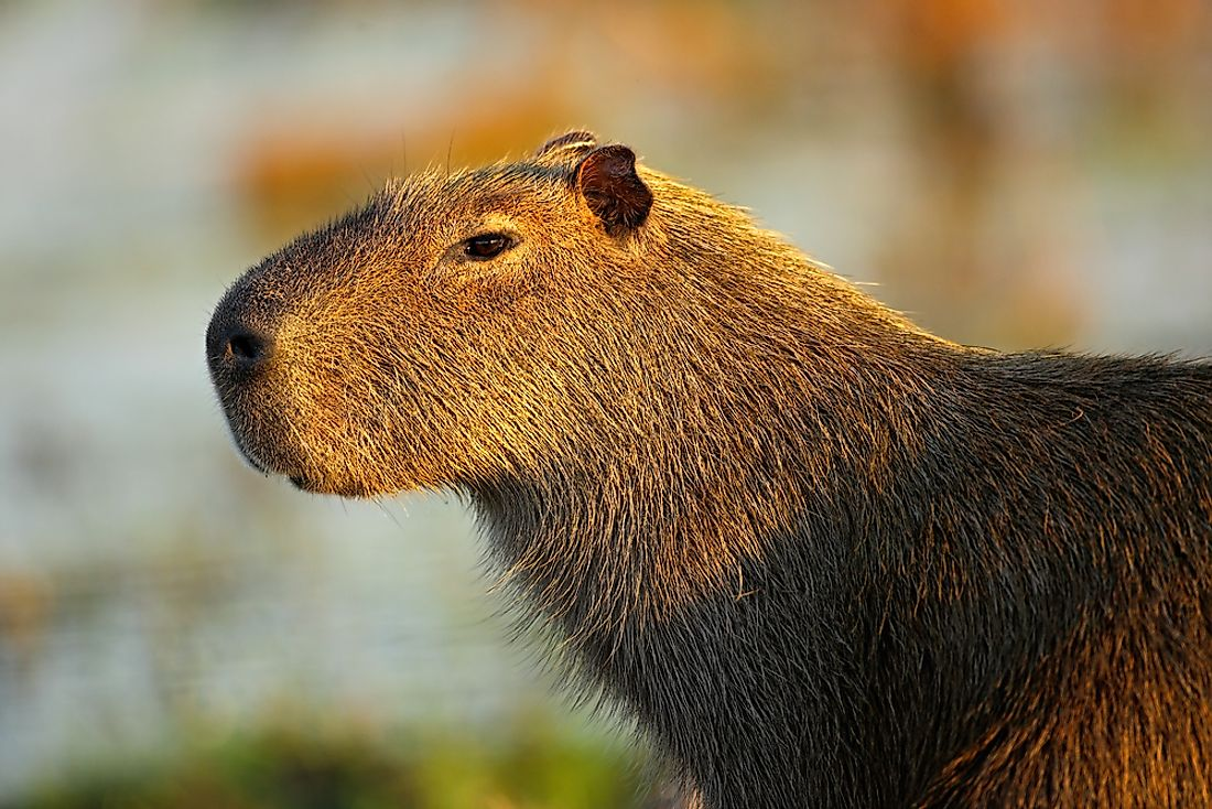 Capybaras are nocturnal animals found in South America.