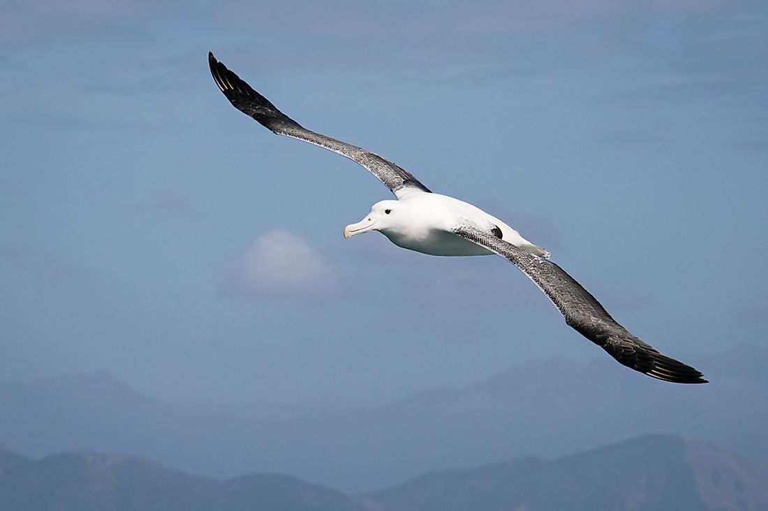 A wandering albatross soaring through the sky.