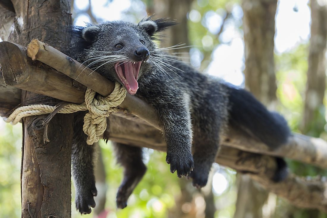 "A bearcat (or ""Binturong"") taking it easy. Bearcats are a Vulnerable species traditionally native throughout much of Southeast Asia."