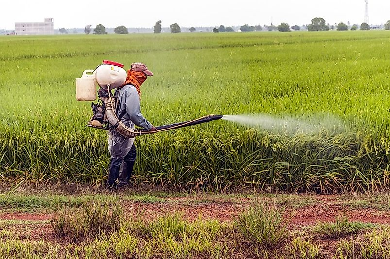 An Asian farmer uses a backpack sprayer to apply pesticide to his rice paddy field.