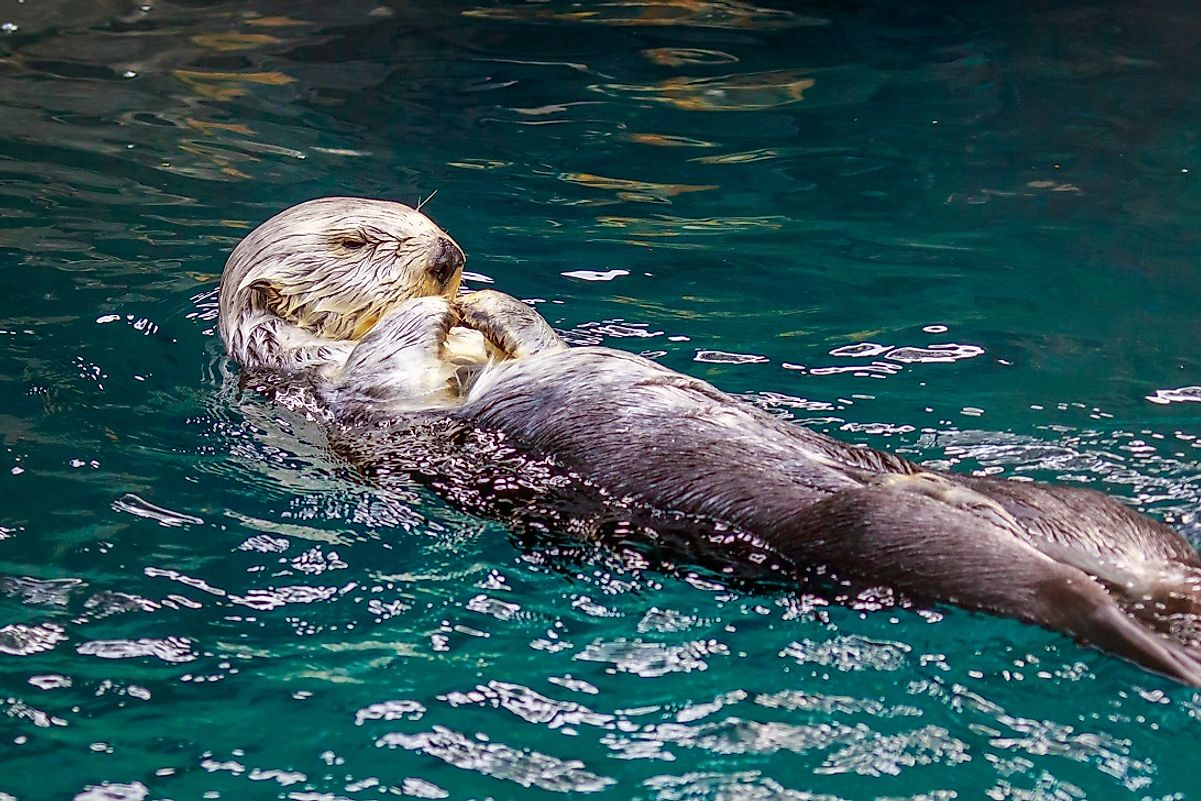 "Whether on its back or its front, the ""Endangered"" Sea otter is a proficient swimmer, and a classic family attraction in aquariums and in the wild alike."