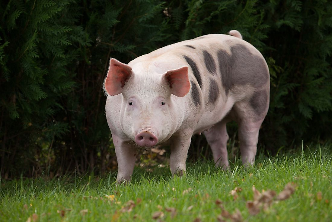 A domestic pig in a meadow.