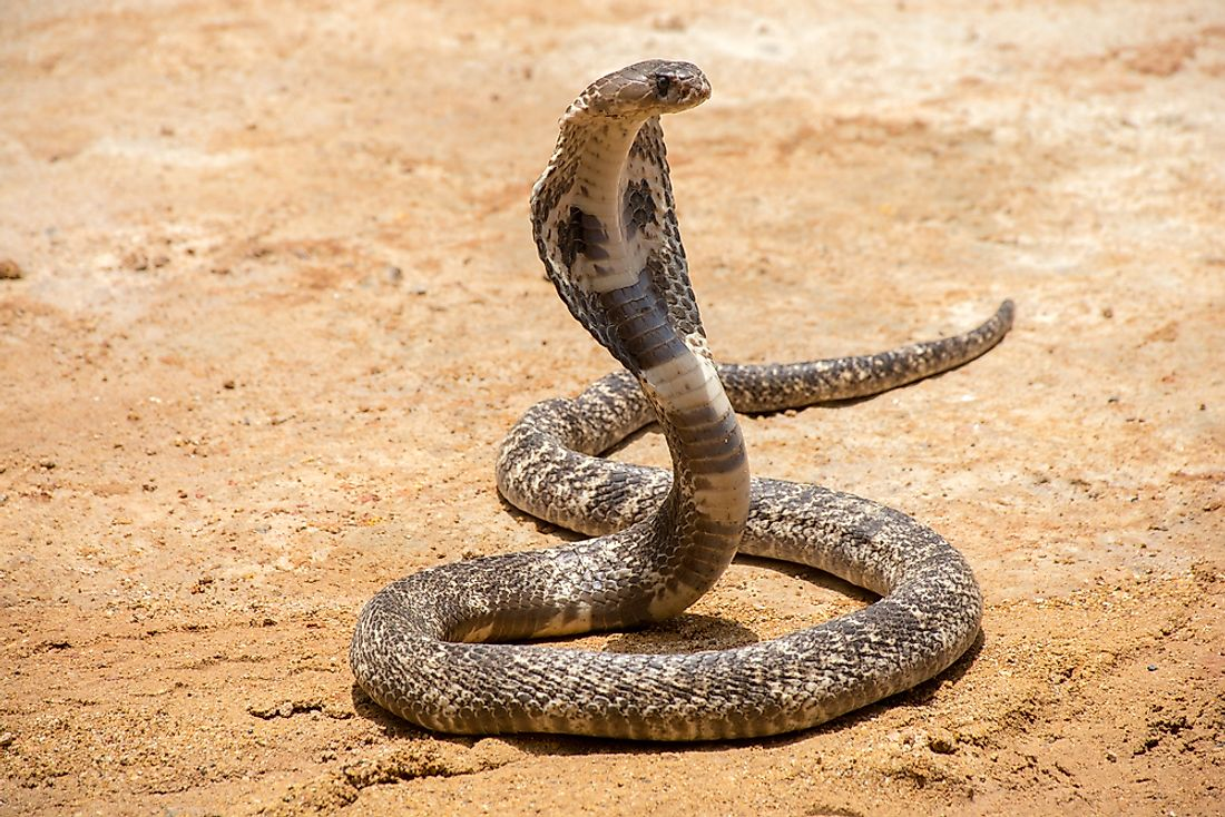Cobras are known for their characteristic hoods that they exhibit when threatened.
