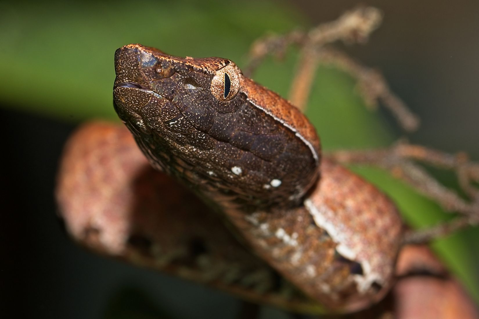 Hump nosed pit viper. Image credit: Ananth-tp
