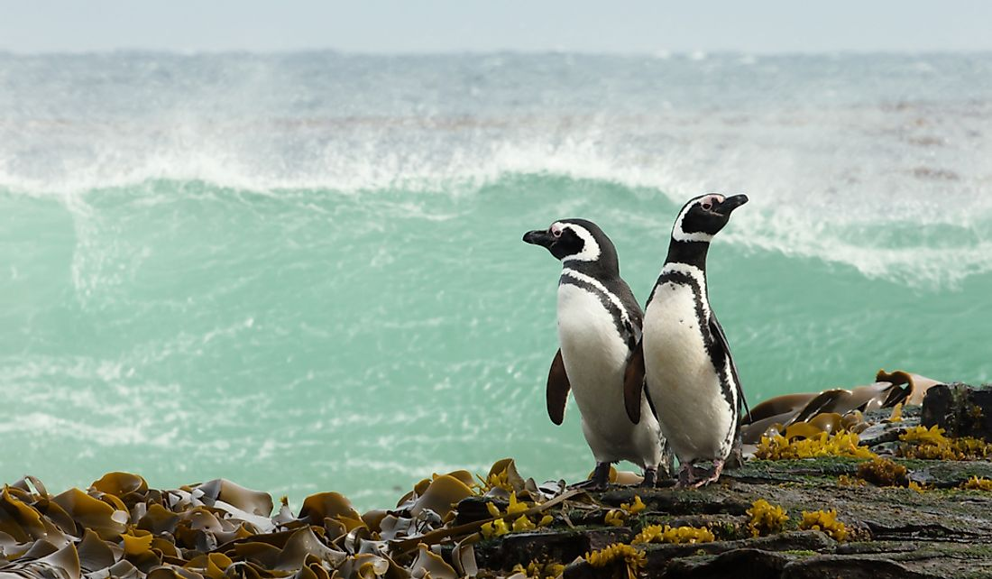 Magellanic penguins have the longest lifespans of all penguin species.
