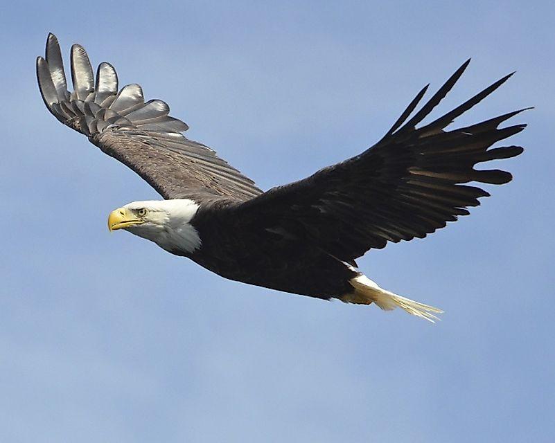 #1 Bald Eagle