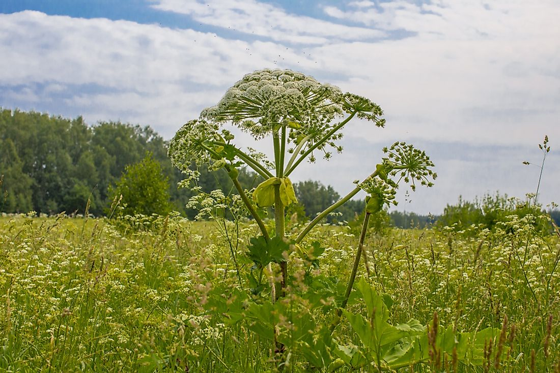 The giant hogweed can grow up to 7 feet tall.