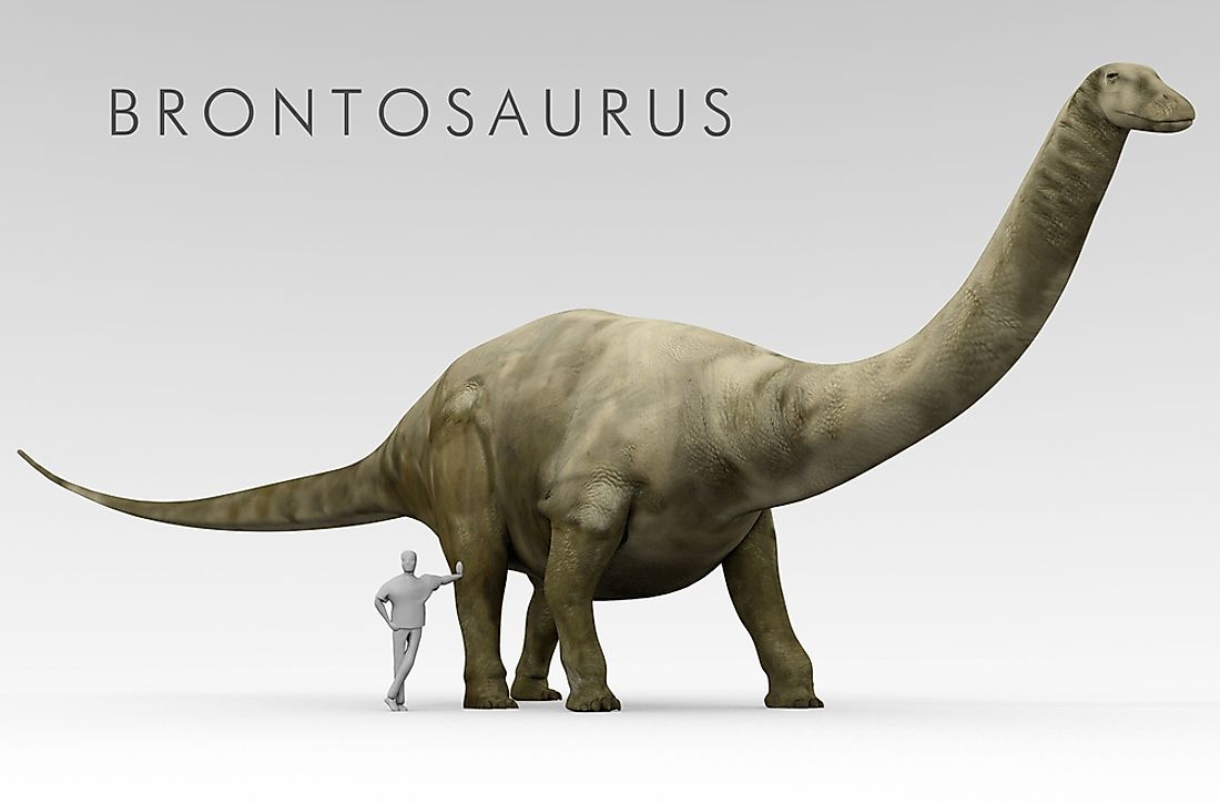 An illustration of the Brontosaurus dinosaur shown beside an average height human.