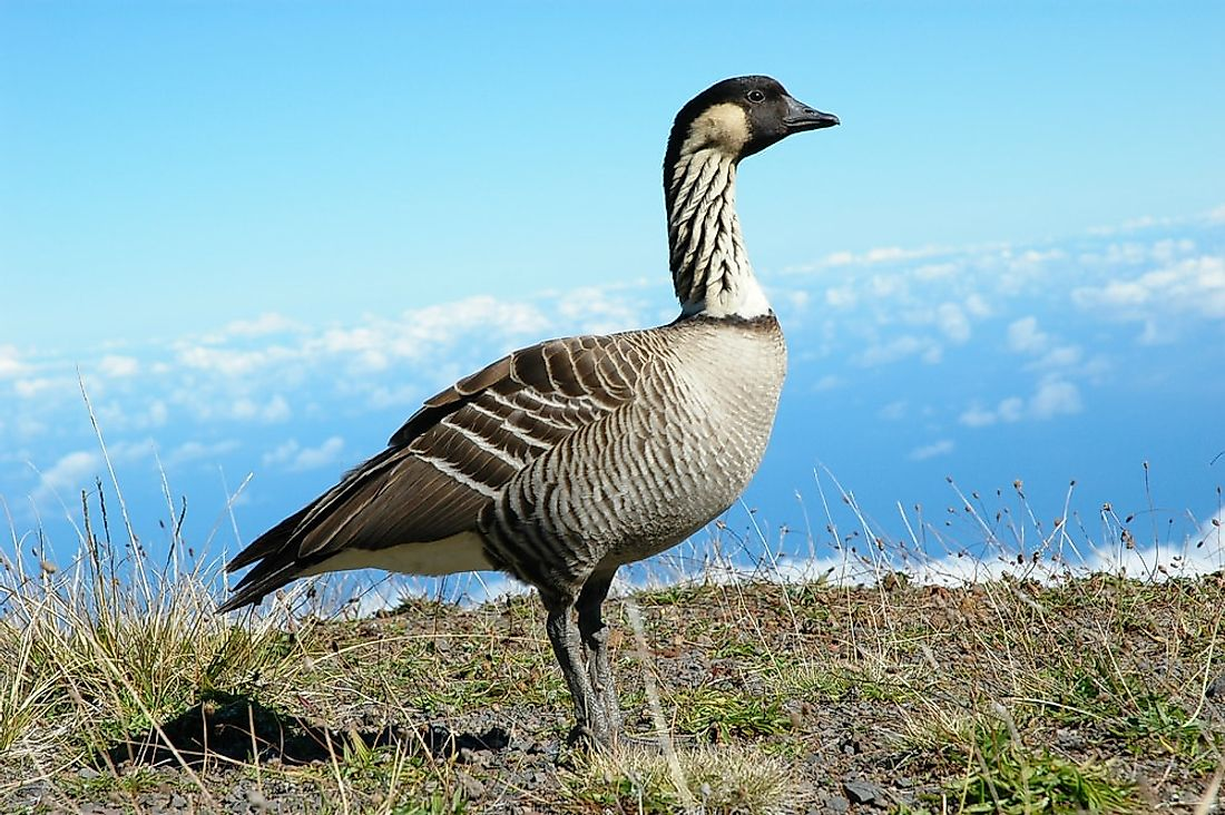 The Hawaiian geese or nene is the world's rarest species of geese. It is the state bird of Hawaii.