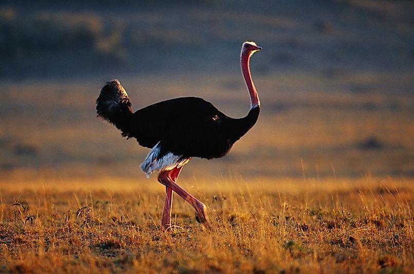#7 Ostrich
