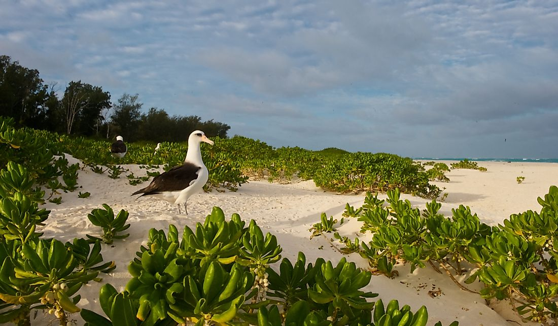 Approximately 70% of the Laysan albatross population reside on Midway Atoll.