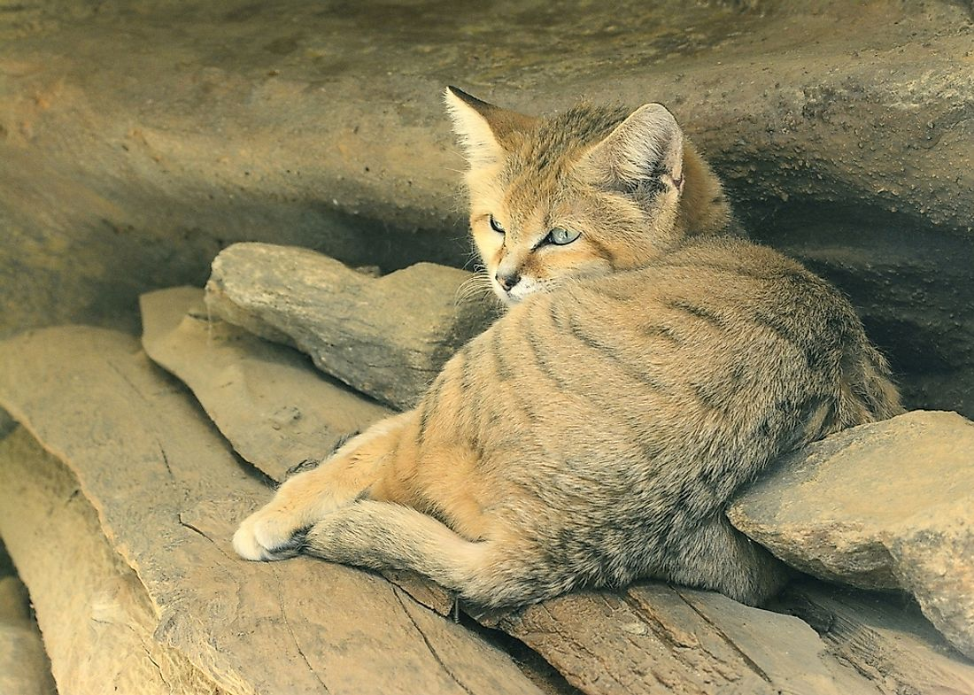 Sand cats closely resemble domesticated cats in size and appearance.