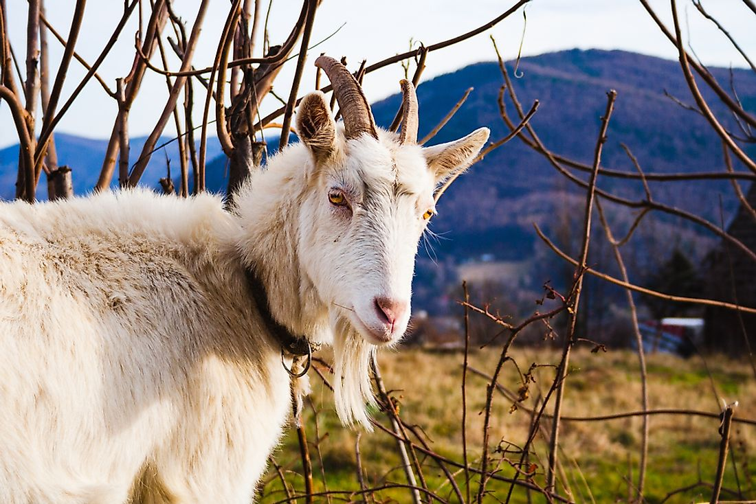 Goats are among the animals who have been domesticated by humans.