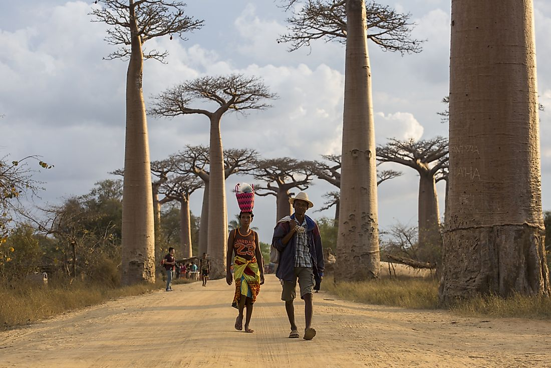 A man and a woman walk by baobab trees in Madagascar. Editorial credit: danm12 / Shutterstock.com.