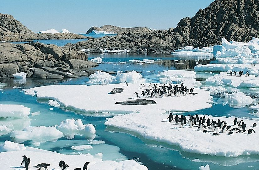 Relatively large birds, these Adelie penguins are dwarfed by the Leopard seals they are sharing these ice floes with in eastern Antarctica.