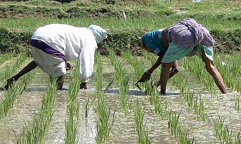 Farmers tending to rice fields in India. Rice is among the top items exported from the country.