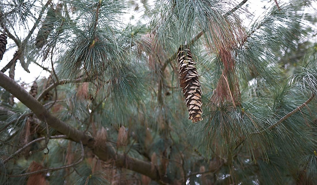 Branches and cones of a white pine.