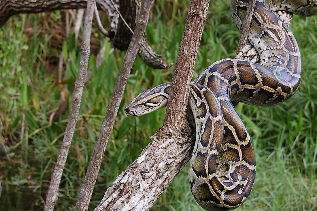 The invasive Burmese Python in the Florida Everglades.