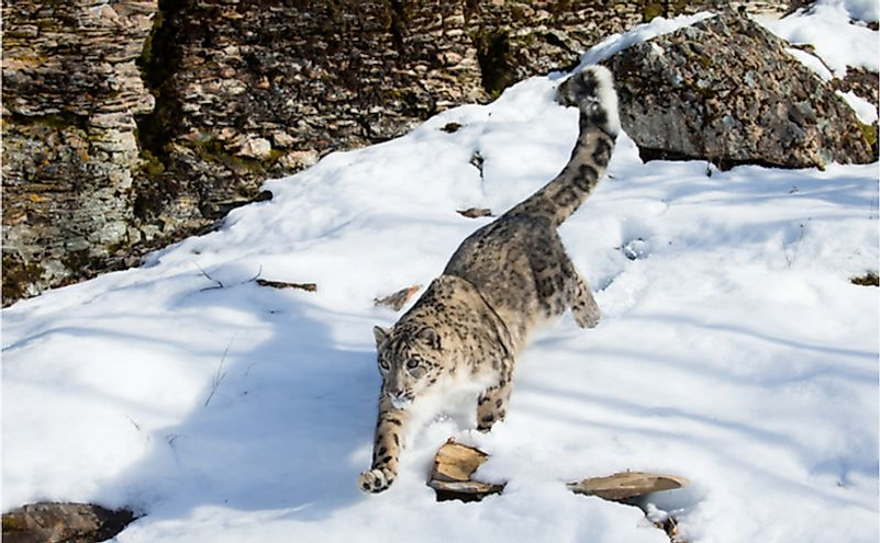 Snow leopard running down a steep snow covered rock face