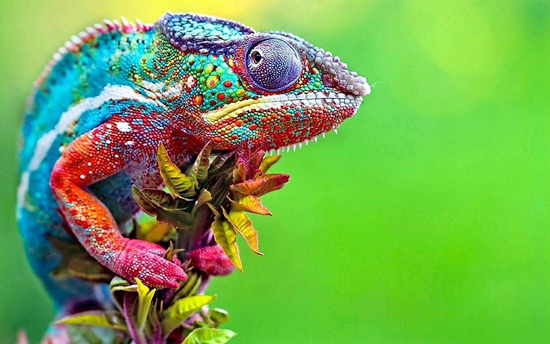 The chameleon is a vertebrate and a reptile.