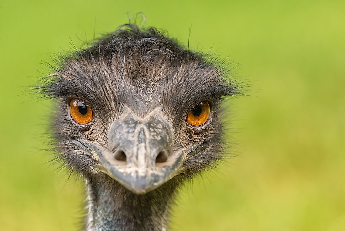An Australian Emu posing for the camera.