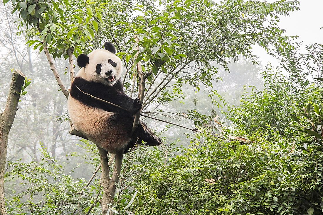 A giant panda sits in a bamboo tree.