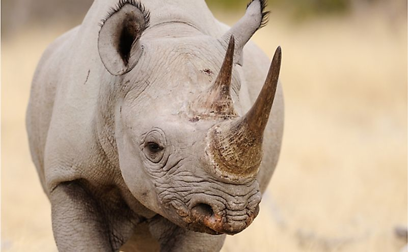 Close-up of a black rhino.