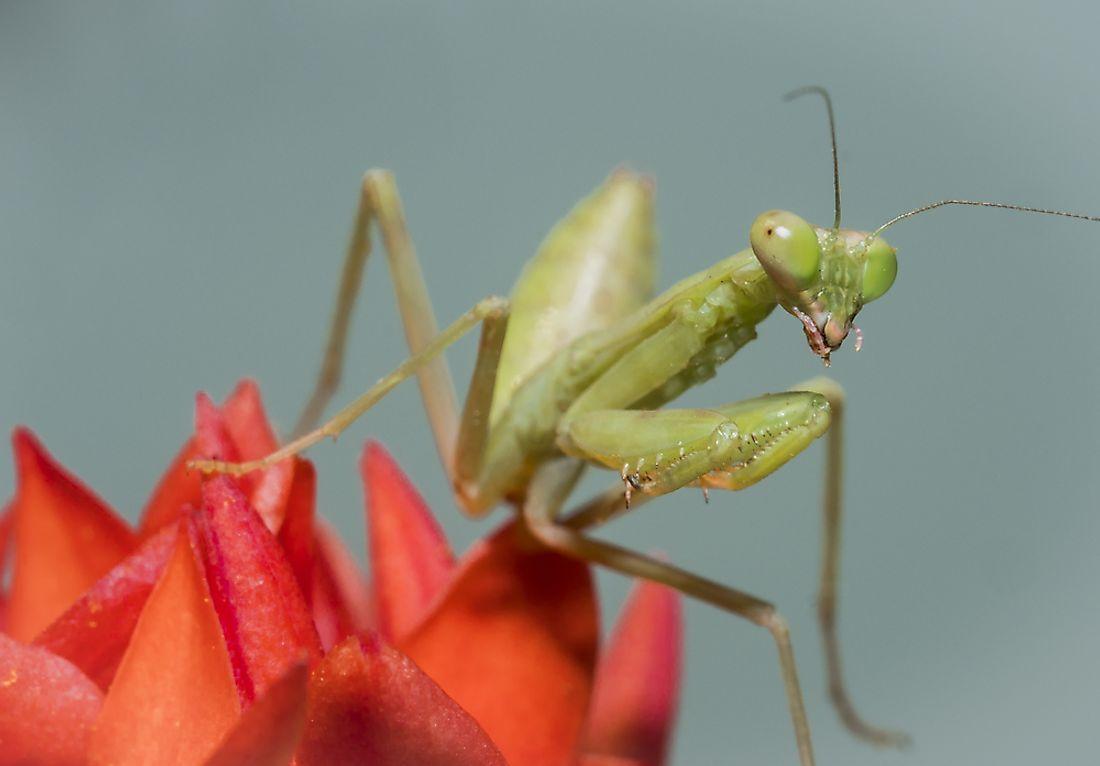 Praying Mantis Facts - Animals of the World - WorldAtlas.com