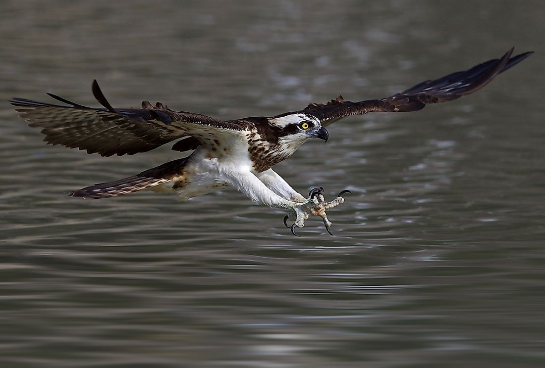 The western osprey can be found in Saudi Arabia.