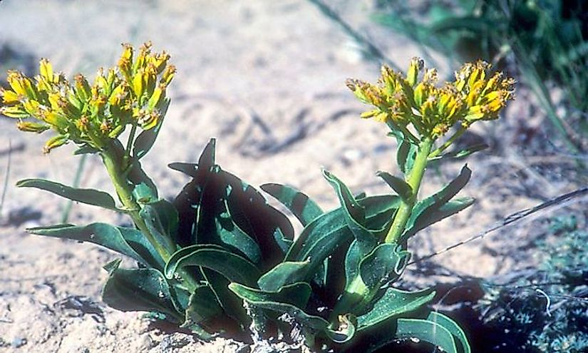​Desert Yellowhead​, a critically endangered plant species of the United States.