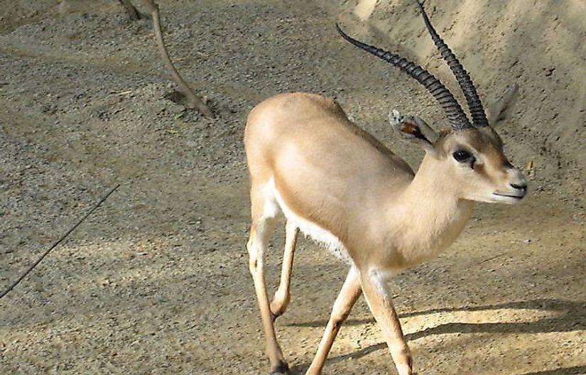 #5 Gazelles (Dorcas Gazelle, Rhim Gazelle, Dama Gazelle)