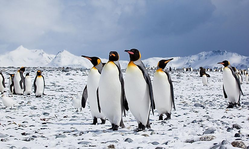 Seven species of penguins call the frozen continent their home.