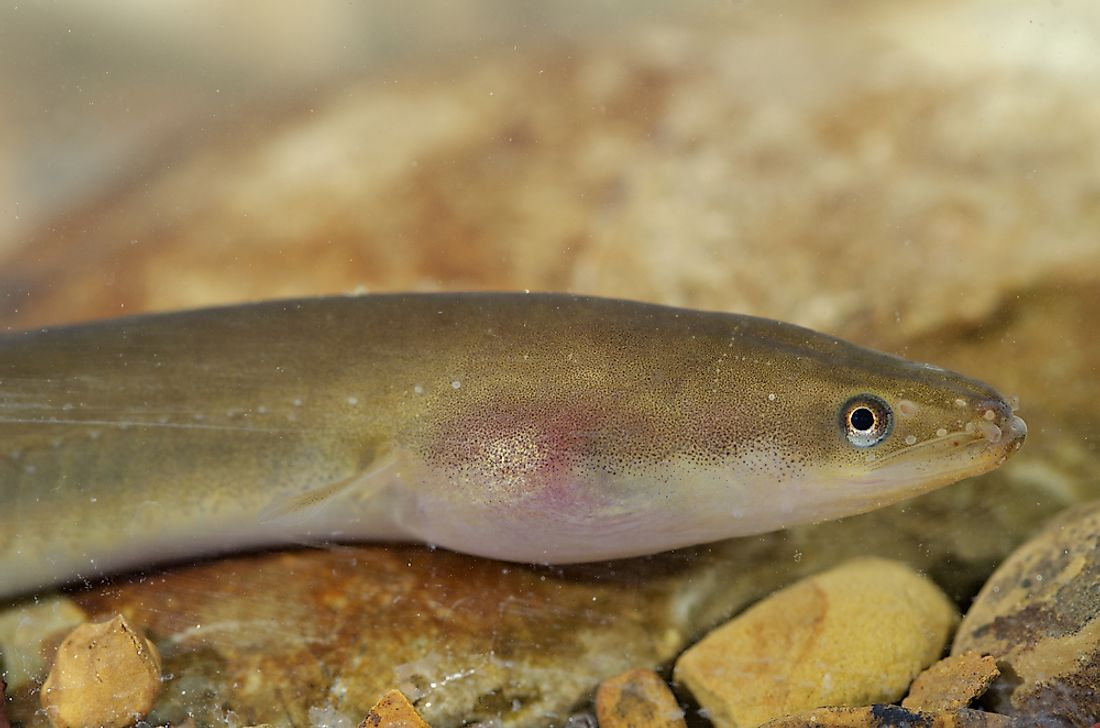 The European eel can be found in Libya