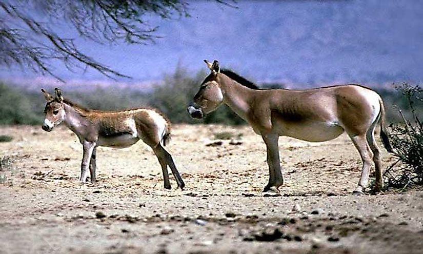 #6 Mongolian Wild Ass -