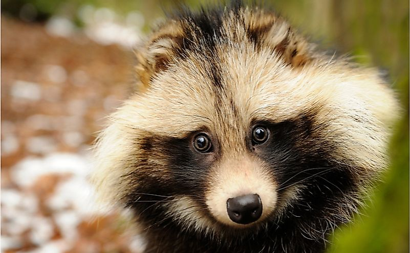 A raccoon dog in a forest.