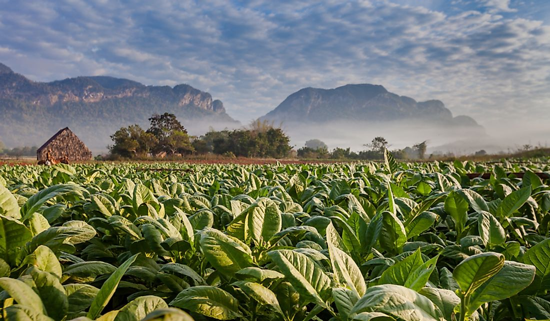 Cuban tobacco plantation, the country's second-largest export crop.