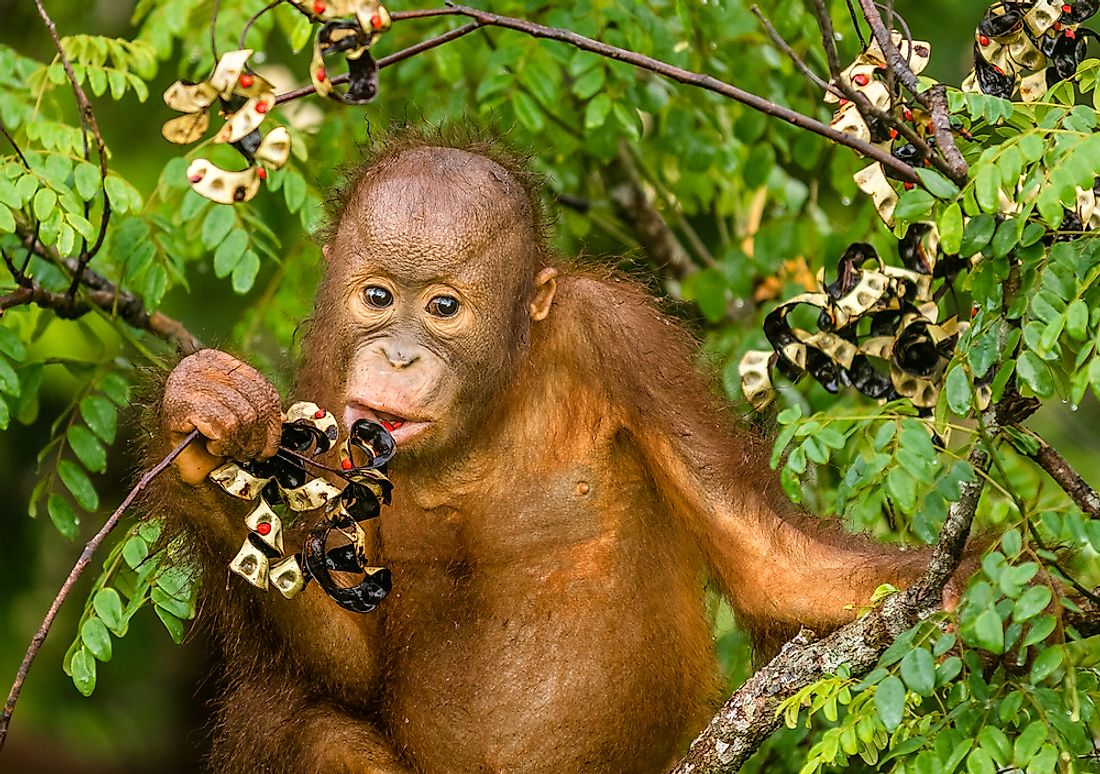 Fruits make up about 60% of the orangutan's diet.
