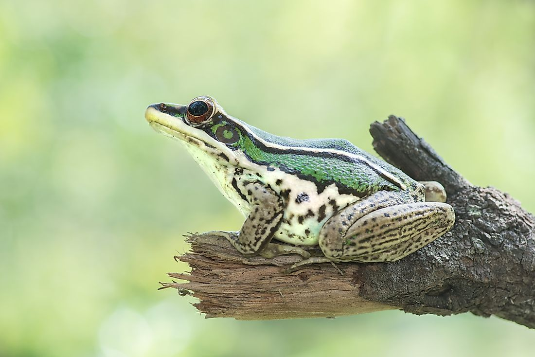 The common green frog can be found in Thailand.