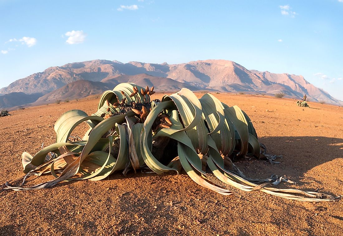 Welwitschia, also known as tree tumbo is endemic to the arid coastal regions of Namibia and Angola.