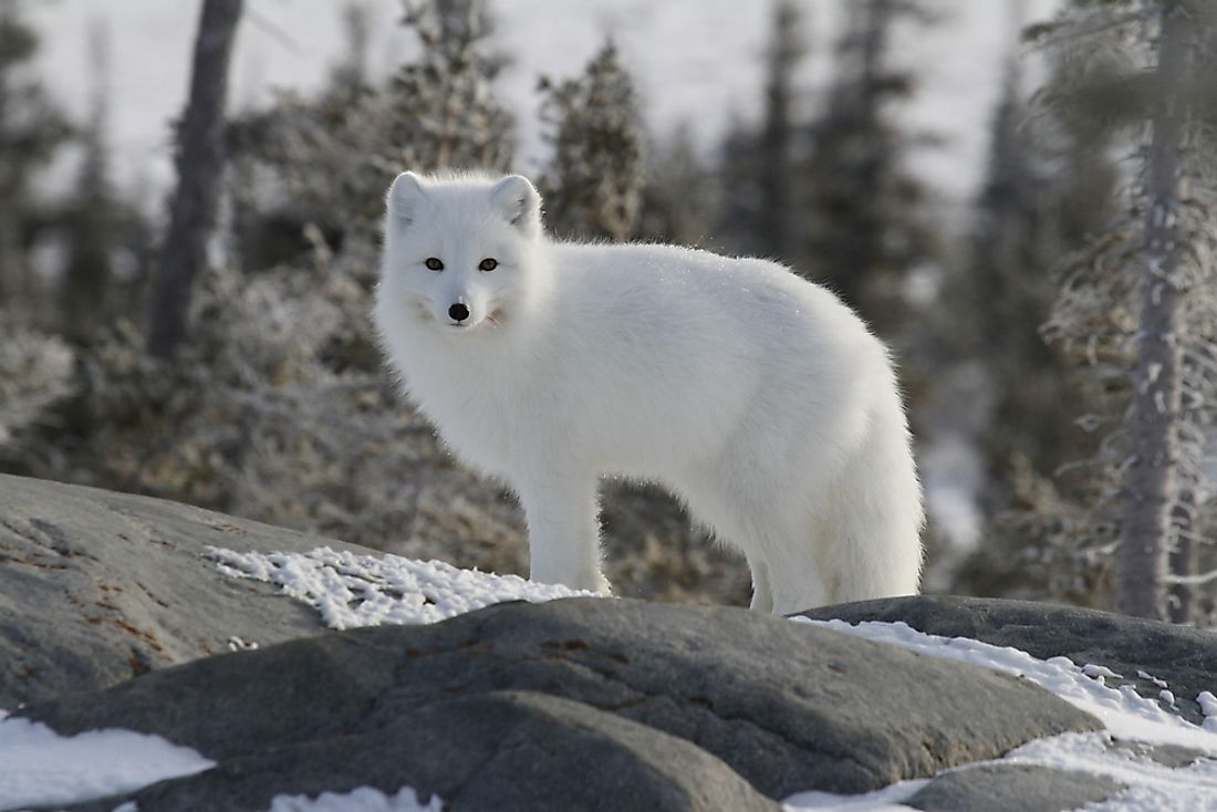 The Arctic Fox lives in the Arctic where it's white fur helps it to blend in with the snow.