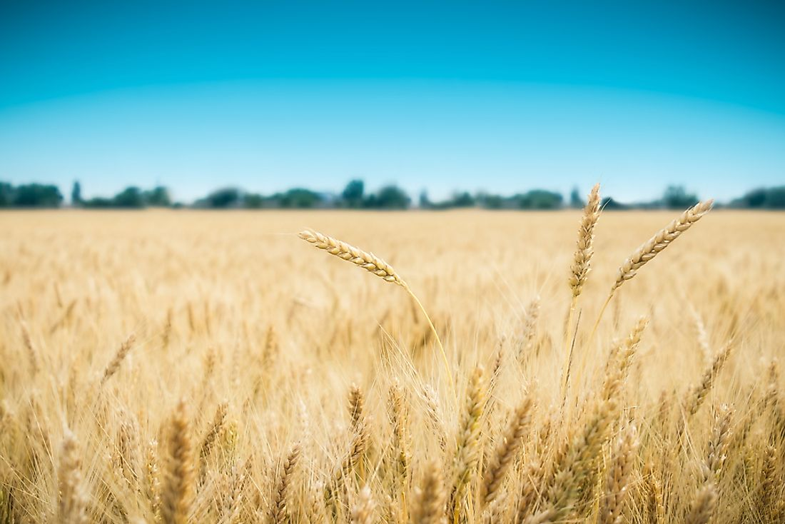 A golden wheat field.