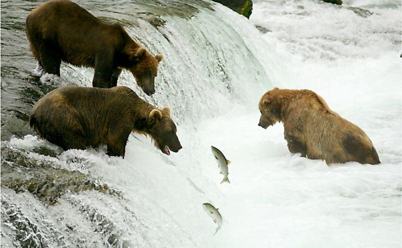 Gấu xám câu cá hồi, Thác Brooks, VQG Katmai, Alaska