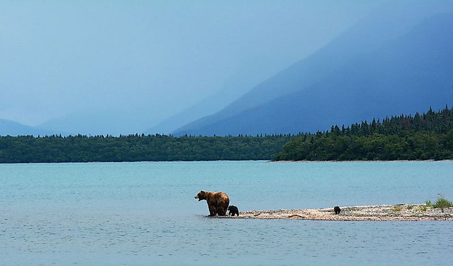 A mother grizzly bear with her cubs on the edge of Naknek Lake, Alaska