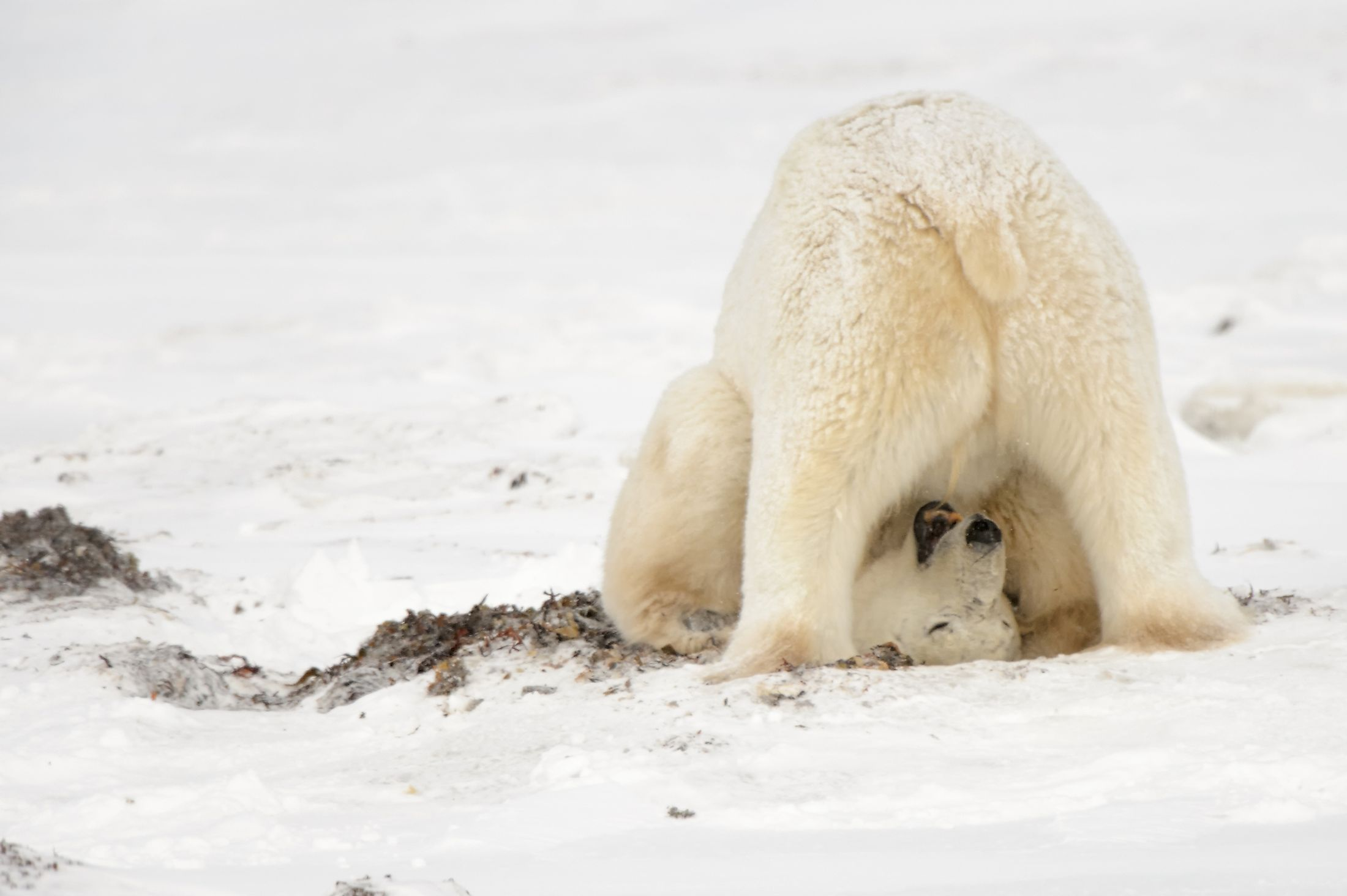 A polar bear in a playful mood. Image credit: NaturesMomentsuk/Shutterstock.com