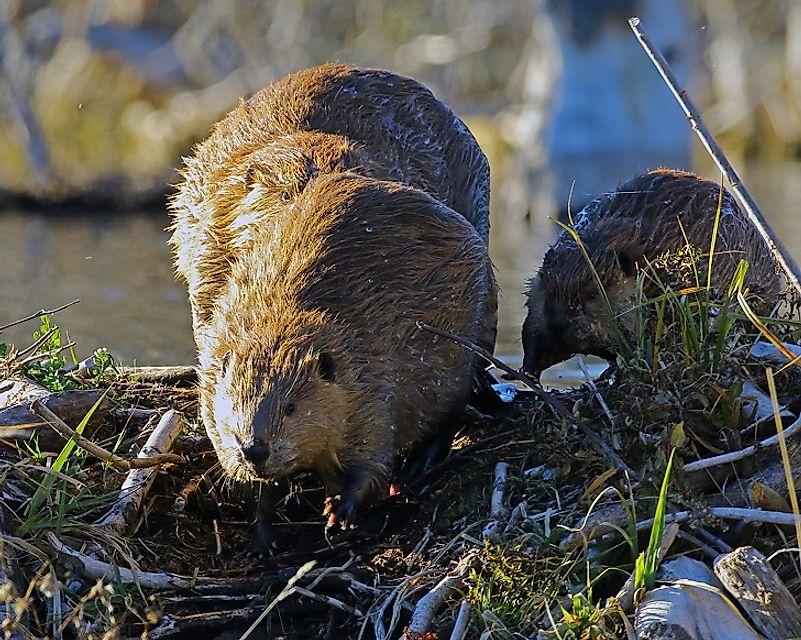 #6 North American Beaver