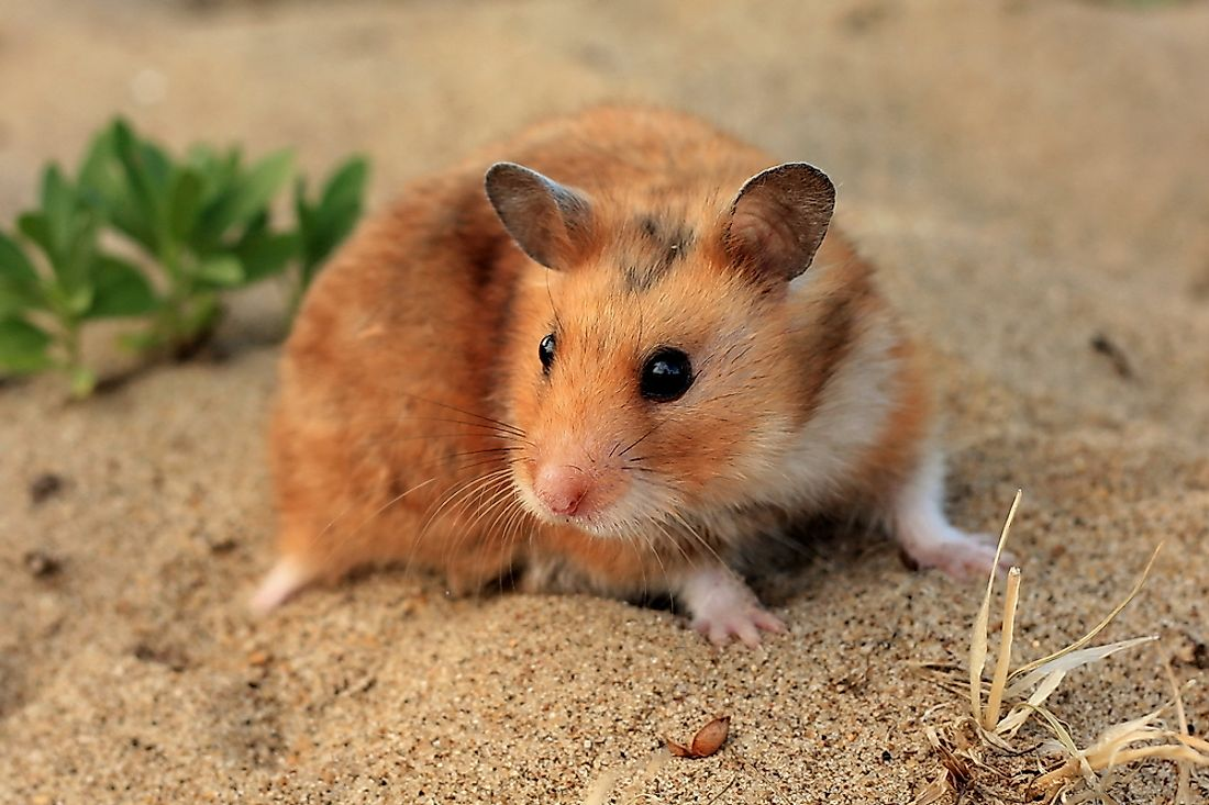 Where Do Hamsters Live in the Wild? - WorldAtlas com