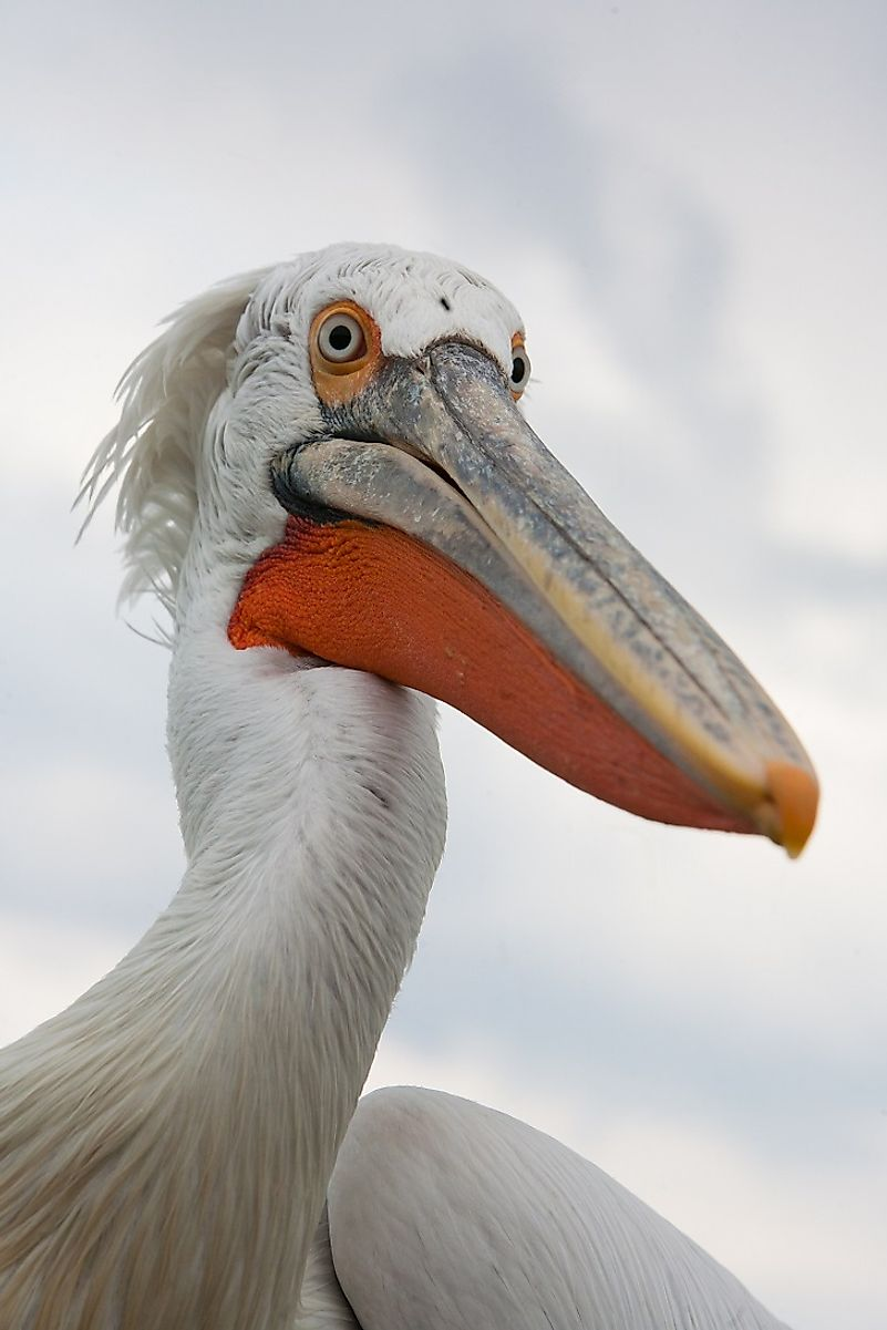 dalmatian pelican facts animals of eurasia worldatlas com