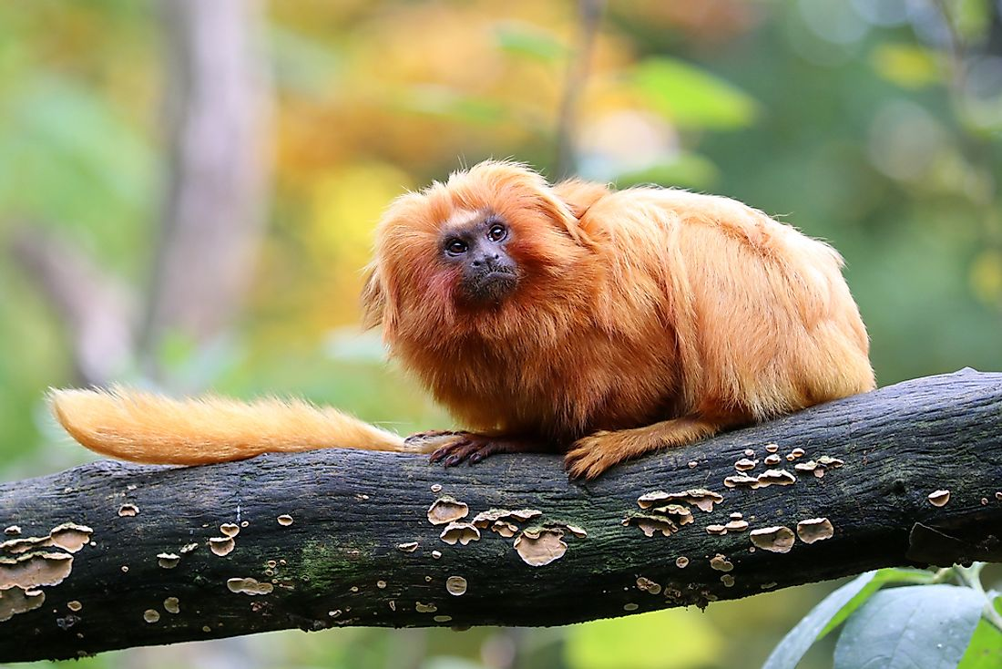 The Golden lion tamarin was named for the golden color of their fur.
